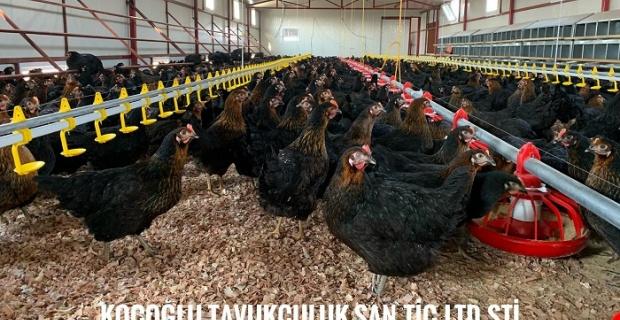 Ataks Tavuk Nedir? Nereden Alınır