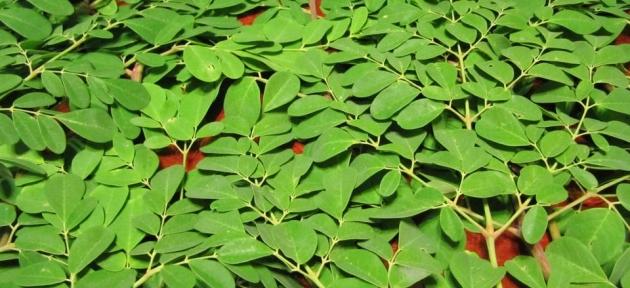 Moringa oleifera nedir? Moringa kullanım alanları